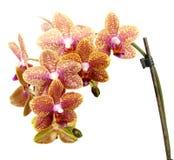 Gul orkidé på en vit bakgrund Arkivbilder