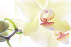 Gul orkidé på en vit bakgrund Royaltyfria Foton