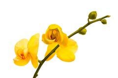 Gul orkidé på en vit bakgrund Royaltyfria Bilder