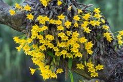 Gul orkidé på ett träd Fotografering för Bildbyråer