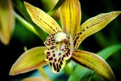 Gul orkidé på oskarp bakgrund Arkivfoton