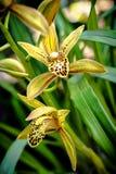 Gul orkidé på oskarp bakgrund Royaltyfri Foto