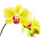 Gul orkidé på vit bakgrund Arkivbild