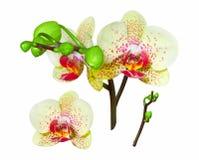 Gul orkidé som isoleras Arkivfoto