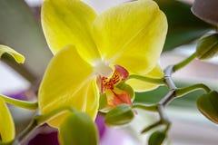 Gul orkidéblomblomma exotisk houseplantblomning dekorativt eller prydnad för design Makro royaltyfria foton