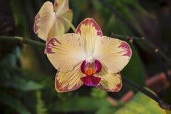 Gul orkidéblomma med rosa färgtungan och fläckar på kronblad Royaltyfria Bilder