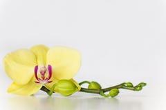 Gul orkidéblomma på en vit bakgrund Royaltyfri Foto