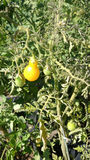 Gul pärontomat, Solanumlycopersicum Arkivfoton