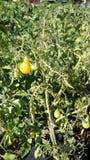 Gul pärontomat, Solanumlycopersicum Royaltyfri Foto