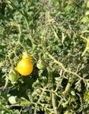 Gul pärontomat, Solanumlycopersicum Royaltyfri Fotografi