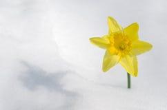 Påsklilja i snow Royaltyfri Fotografi