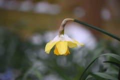 Gul påskliljavårblomma med snö som tas i Sussex England fotografering för bildbyråer