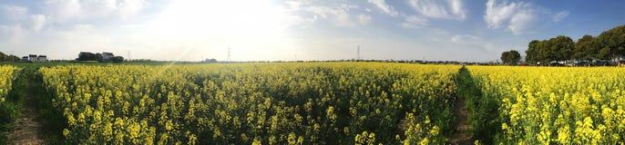 Gul pöl för solig dag av blommafältet arkivfoton