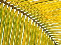 Gul palmblad Arkivbild