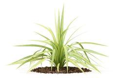 Gul palmliljaväxt som isoleras på vit Arkivfoto