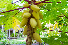 Gul papaya Arkivfoto