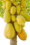Gul papaya på träd Royaltyfri Bild