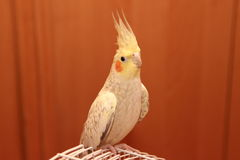 Gul papegoja corella Fotografering för Bildbyråer