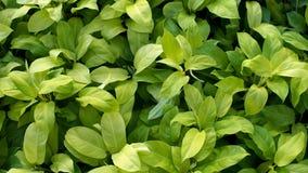 Gul Philodendron Fotografering för Bildbyråer