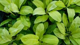 Gul Philodendron Arkivbild