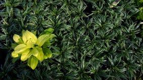 Gul Philodendron Arkivbilder