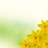 Gul pingstliljablomma, slut upp, gräsplan som gulnar degradeebakgrund Vet som påsklilja, daffadowndilly, pingstliljan och jonkill Arkivbilder