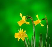 Gul pingstliljablomma, slut upp, grön degradeebakgrund Vet som påsklilja, daffadowndilly, pingstliljan och jonkillen Arkivbilder