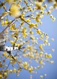 Gul plommonblomma i blomning Arkivbilder