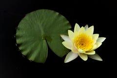 Gul pollen- och kronbladlotusblomma på svart bakgrund Fotografering för Bildbyråer