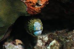 Gul prickig ål Royaltyfri Bild