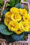 Gul Primulaceae i liten korg Arkivfoton
