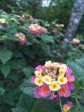Gul purpurfärgad mycket liten blomma Arkivfoton