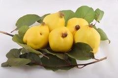 Gul quince Arkivbild
