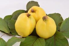 Gul quince Royaltyfria Foton