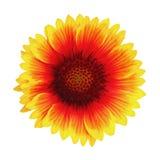 Gul, röd och orange färg för ljus färgrik blomma som isoleras på vit bakgrund BlommaGaillardia arkivbild