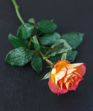 Gul röd ros för singel Royaltyfri Foto