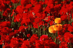 Gul Ranunculus som plattforer ut i rött blommafält Arkivbilder