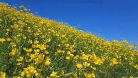 Gul Ranunculusacris på våren Sunny Lawn Härlig feriebakgrund för blå himmel lager videofilmer