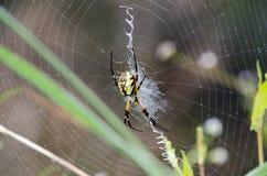 Gul rengöringsduk för trädgårds- spindel Arkivfoto