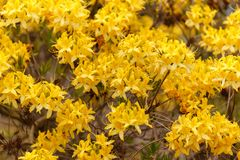 Gul rhododendronLuteum aka gul azalea eller Honeysuckle Azalea royaltyfri foto