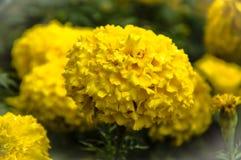 Gul ringblomma för bakgrund som beautifully blommar Royaltyfri Fotografi