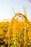 Gul risfält på jordbruksmark Royaltyfria Bilder