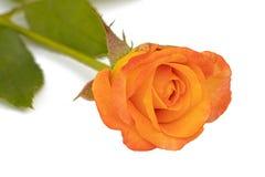 Gul ros med blad arkivbild