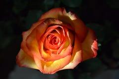 Gul rosa färgros 2 Arkivbild