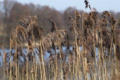 Gul säv som växer på en sjö på en solig dag i vårTypha royaltyfri bild