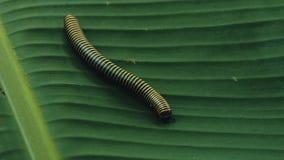 Gul satt band tusenfoting som går över ett bananblad i mitt av rainforestdjungeln arkivbilder