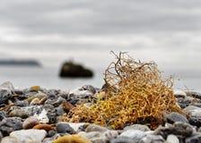 Gul seagrass på Östersjön royaltyfri bild