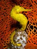 Gul Seahorse Arkivfoto