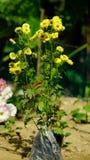 Gul sikt för blommaträd mycket - arkivbilder