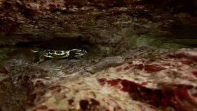 Gul sköldpadda i cenote för grottasjöYucatan mexikan stock video